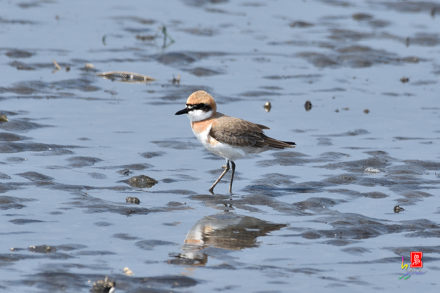 Greater_Sand_Plover_5223