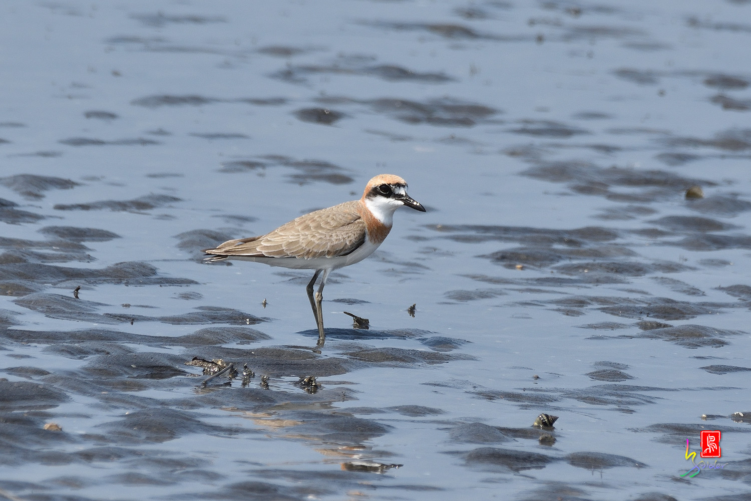 Greater_Sand_Plover_5213