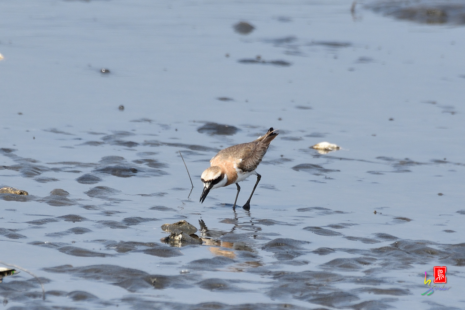Greater_Sand_Plover_5200