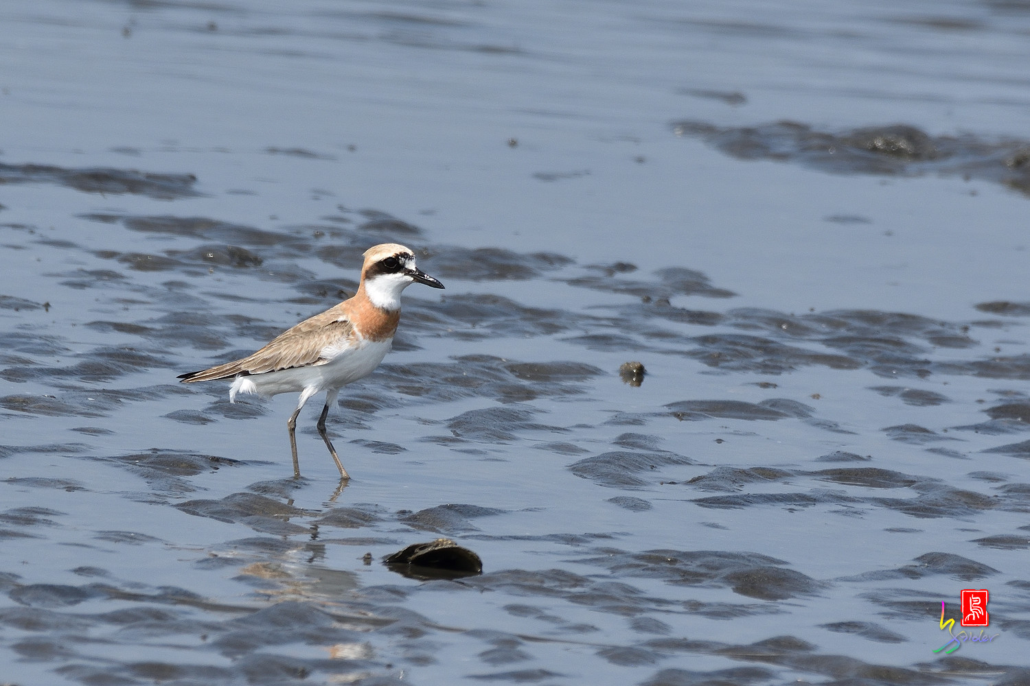 Greater_Sand_Plover_5181