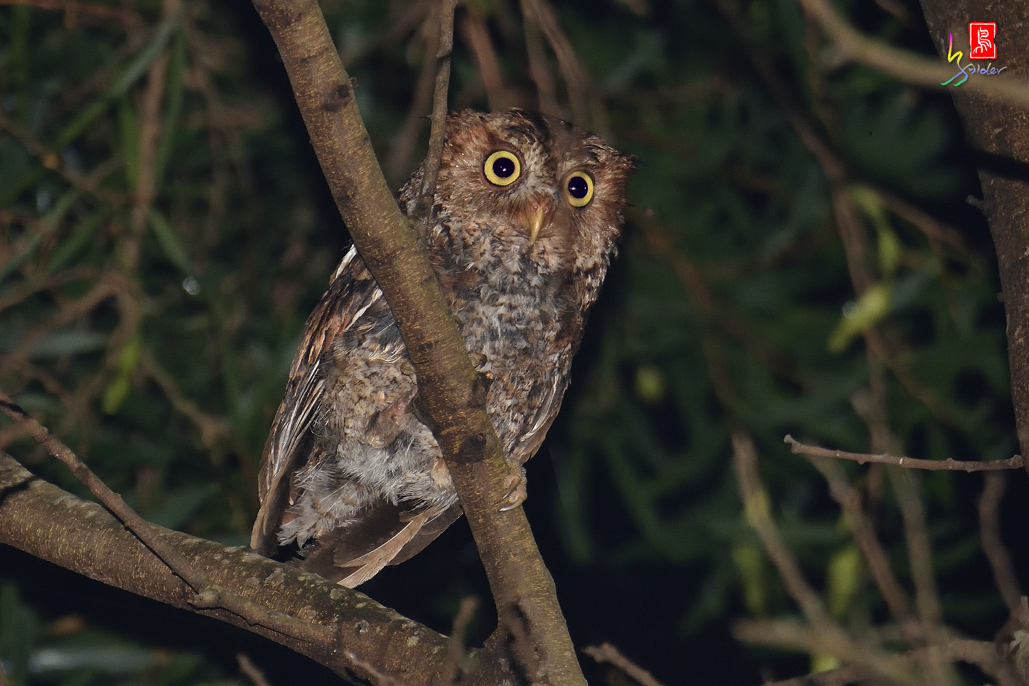 Moutain_Scops_Owl_1531
