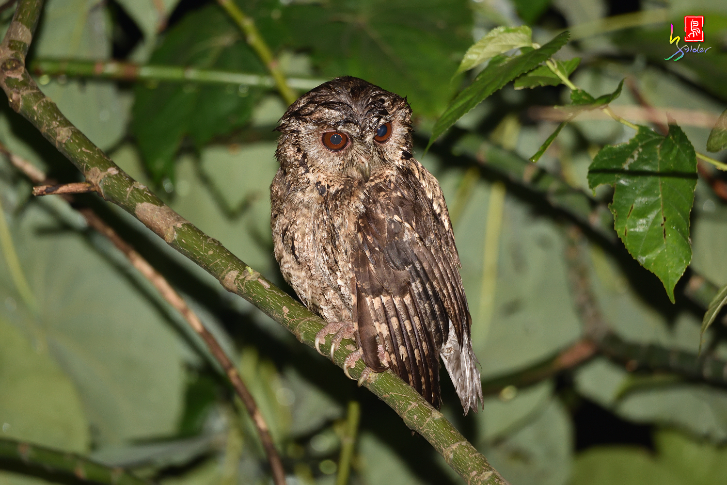 Collard_Scops_Owl_1510