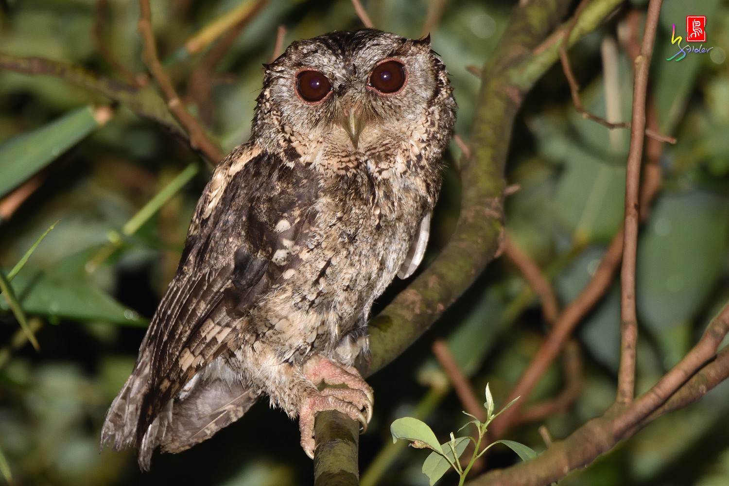 Collard_Scops_Owl_1482