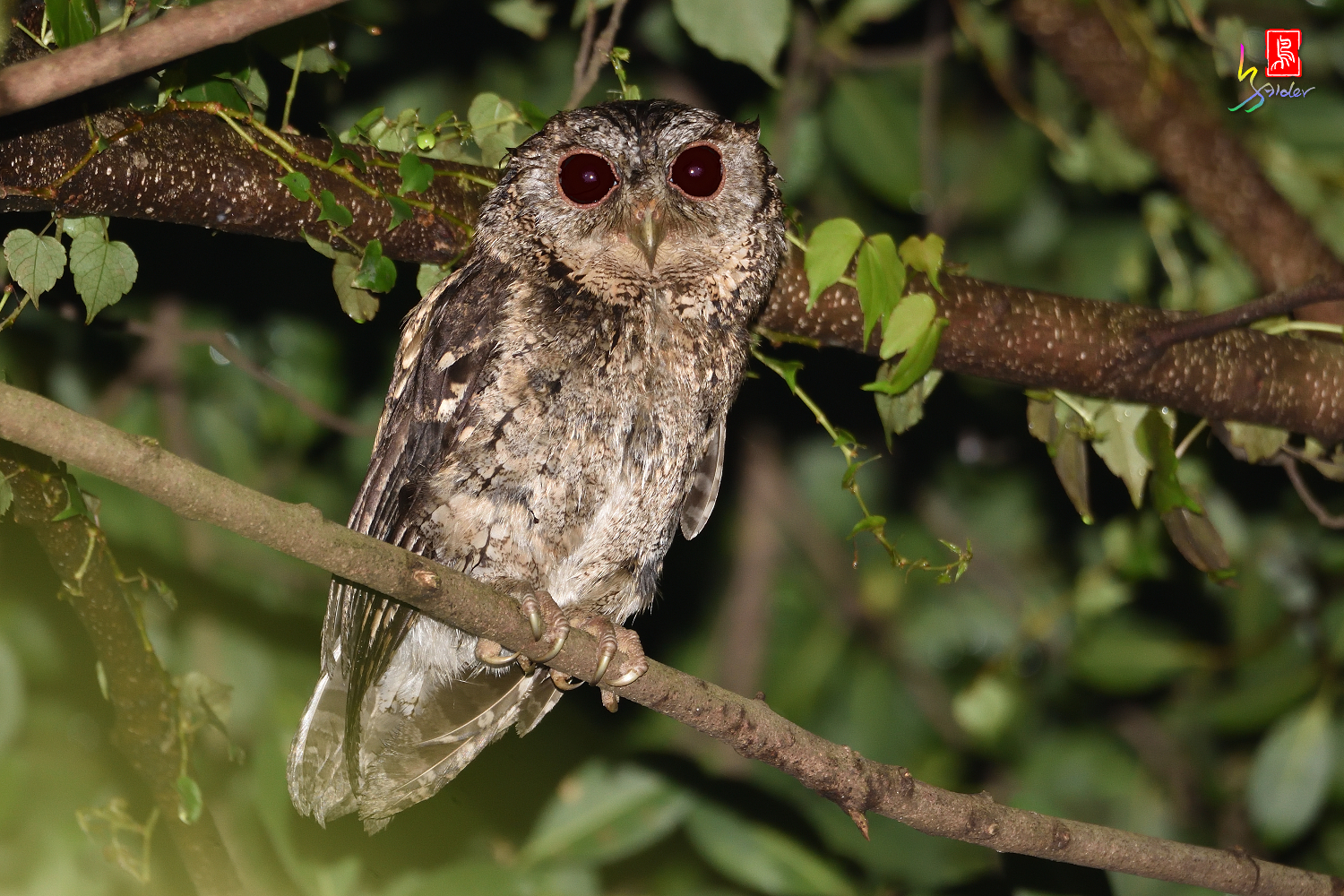 Collard_Scops_Owl_1478_Redeye