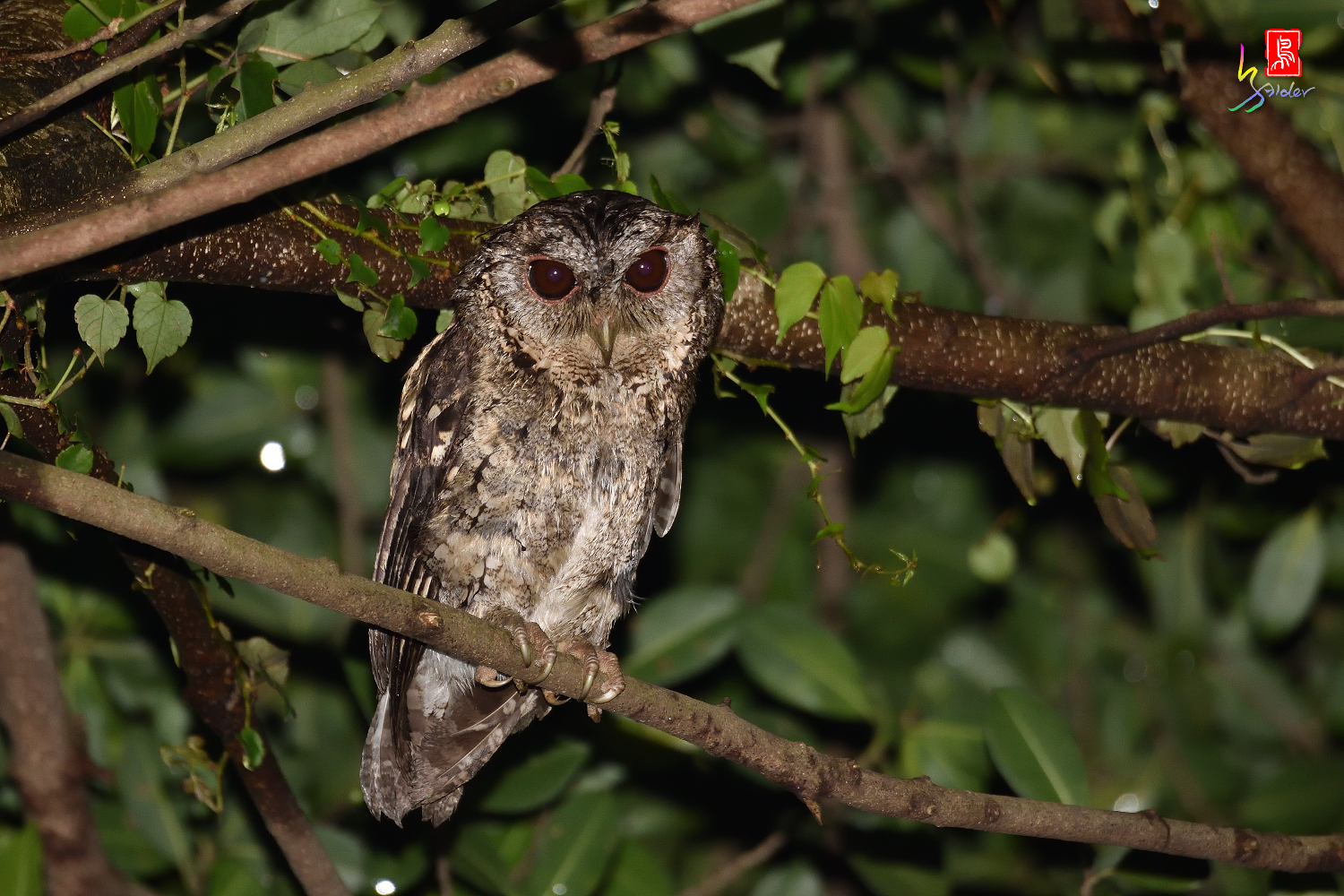 Collard_Scops_Owl_1474