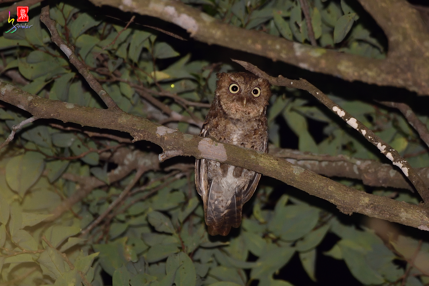 Moutain_Scops_Owl_3542_Redeye