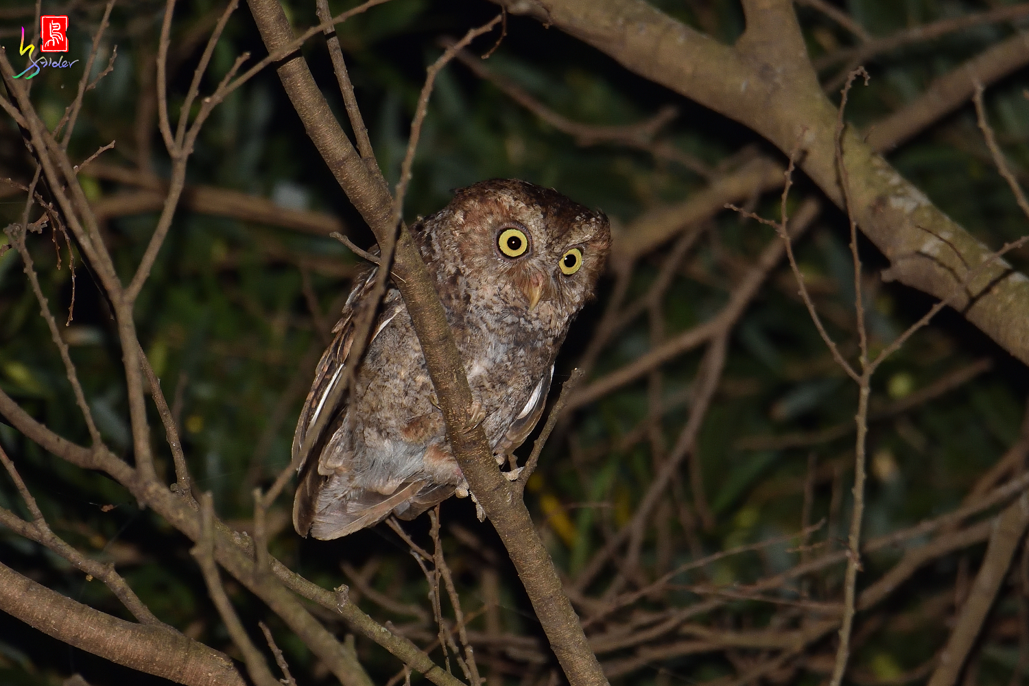 Moutain_Scops_Owl_3529_Redeye