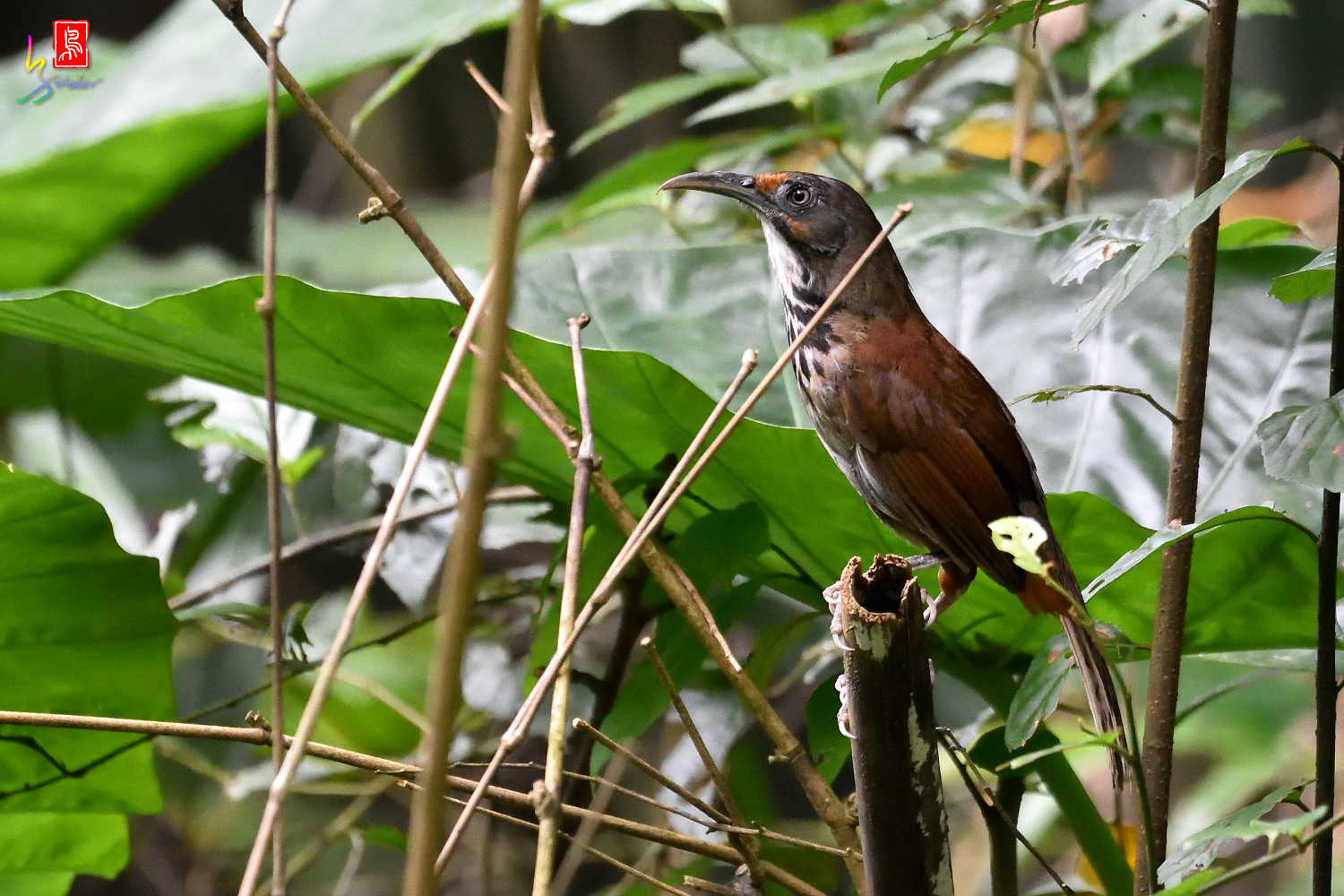 Rusty-cheeked_Scimitar-babbler_3252