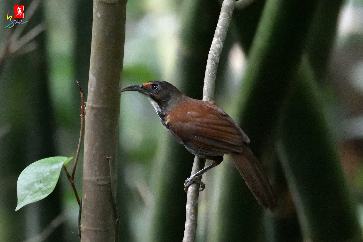 Rusty-cheeked_Scimitar-babbler_3250