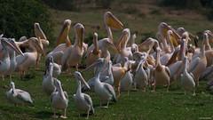 IMGP0925 Crowd of pelicans