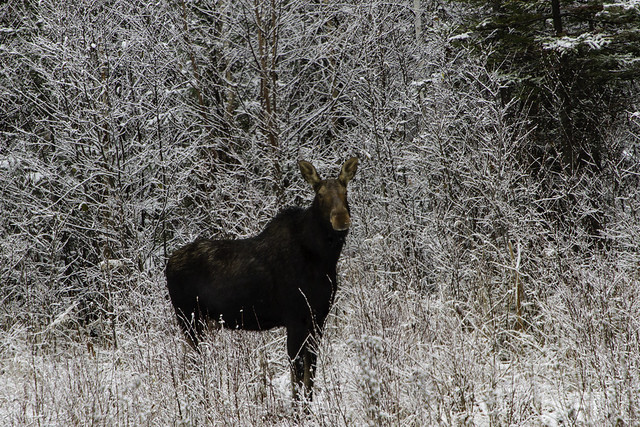 Queen of the Northern Ontario Boreal Forest