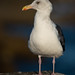 Flickr photo 'Western Gull, Larus occidentalis (Audubon, 1839)' by: Misenus1.