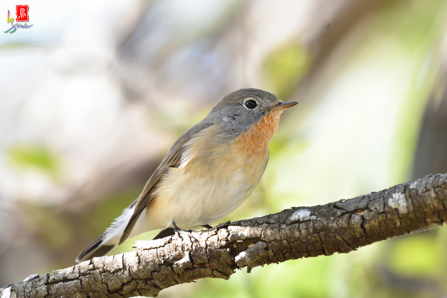 Red-breasted_Flycatcher_5857