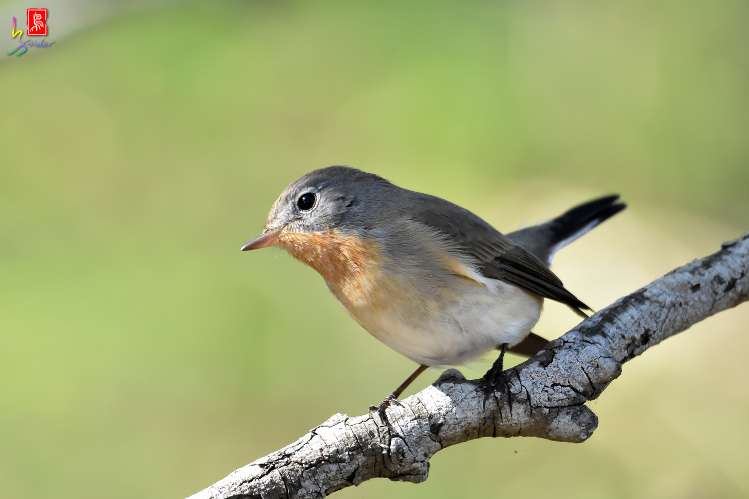 Red-breasted_Flycatcher_1747