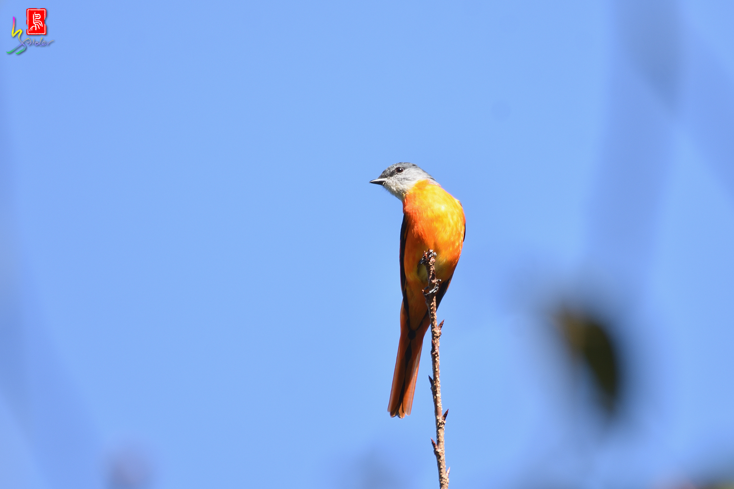 Gray-chinned_Minivet_5460