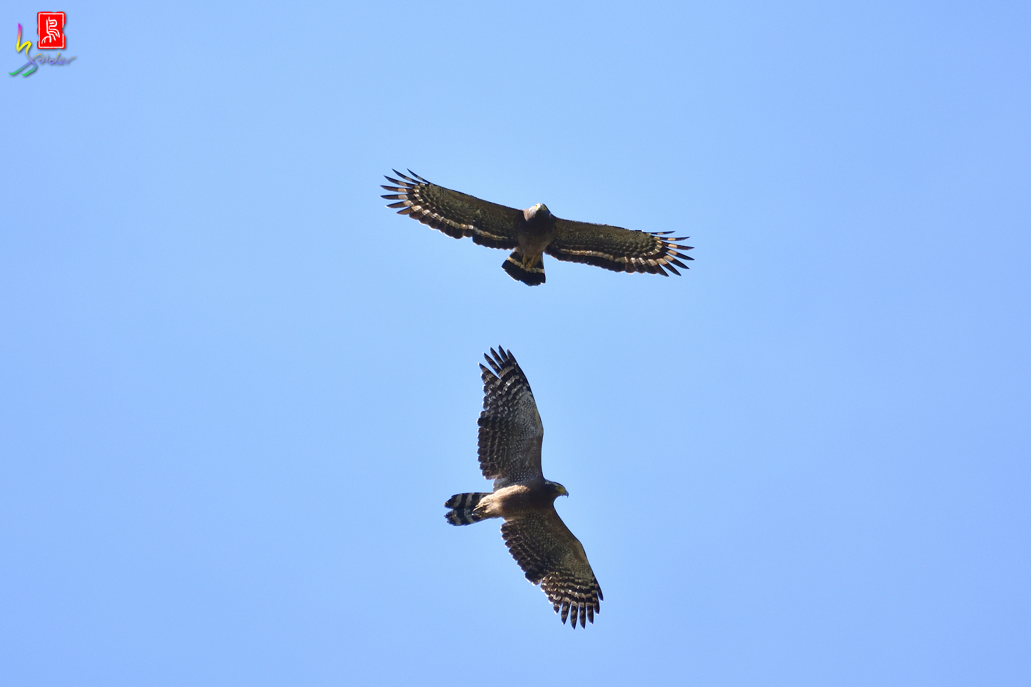 Crested_Serpent-eagle_1229