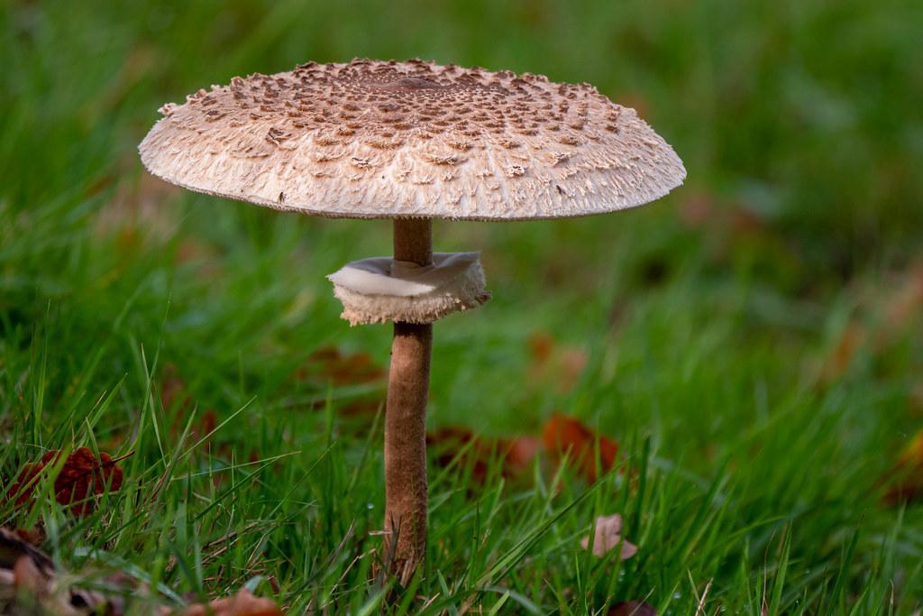 Potsdam, Park Babelsberg: Riesenschirmpilz - Parasol mushroom