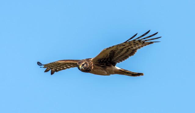 Northern harrier (Busard des marais)