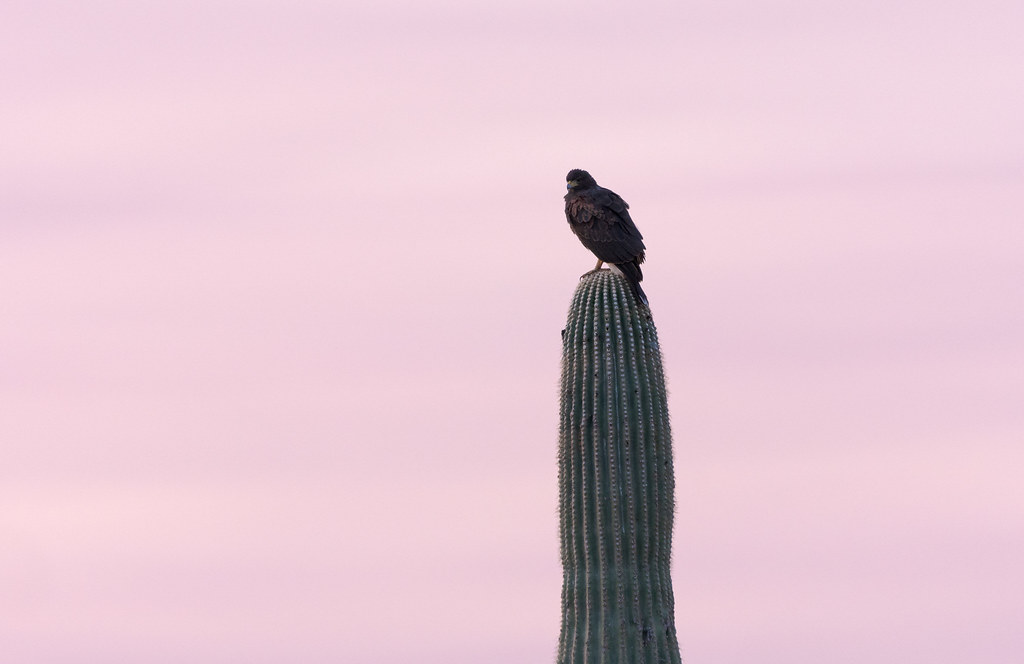 A Harris's hawk perches on a saguaro before the pink skies of dawn on the Latigo Trail in McDowell Sonoran Preserve in Scottsdale, Arizona in October 2019