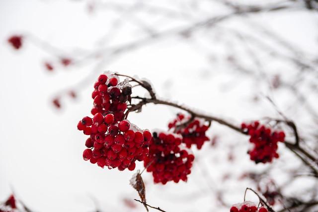 Sorbus with fresh snow