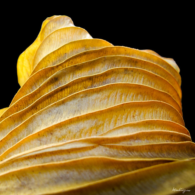 Dried Hosta Leaf - Feuille d'hosta séchée