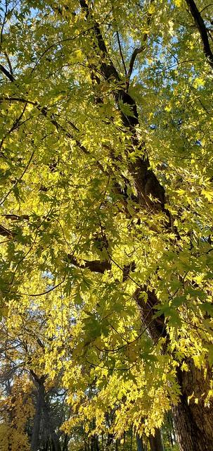 Wisconsin Maples