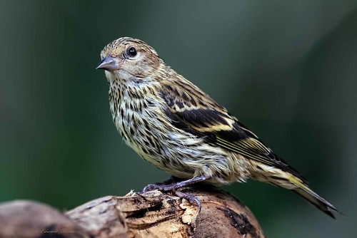 Pine Siskin (in Explore 11/11/2019)