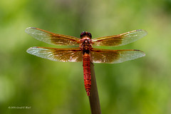 dragon fly 6018