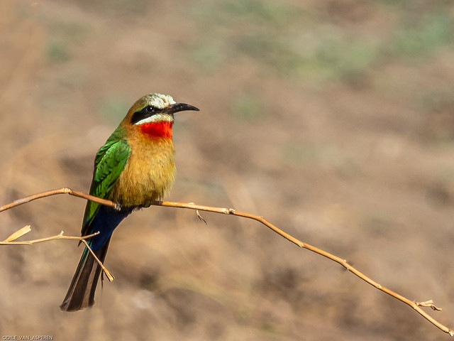 White-fronted bee-eater/Merops bullockoides,