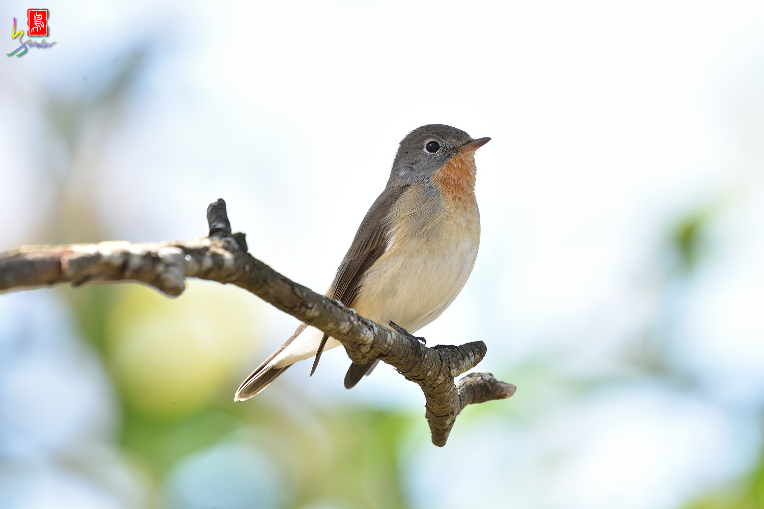 Red-breasted_Flycatcher_6210