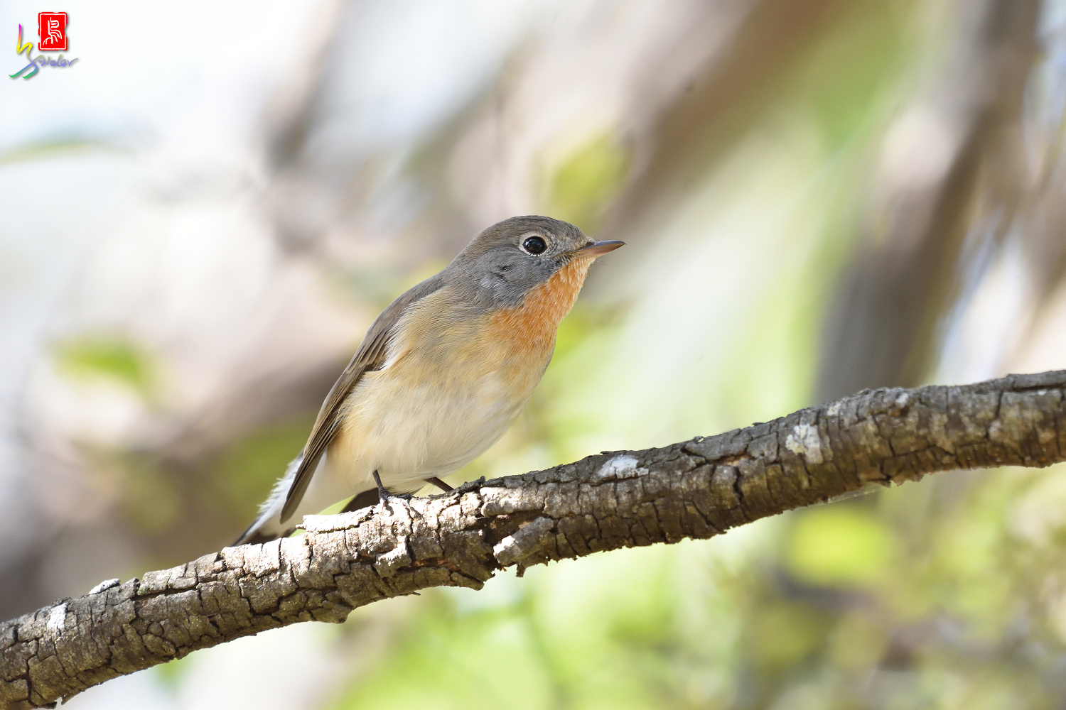 Red-breasted_Flycatcher_5846