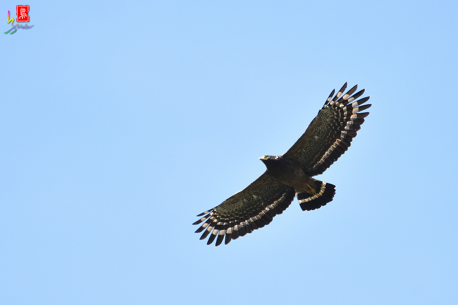 Crested_Serpent-eagle_1305