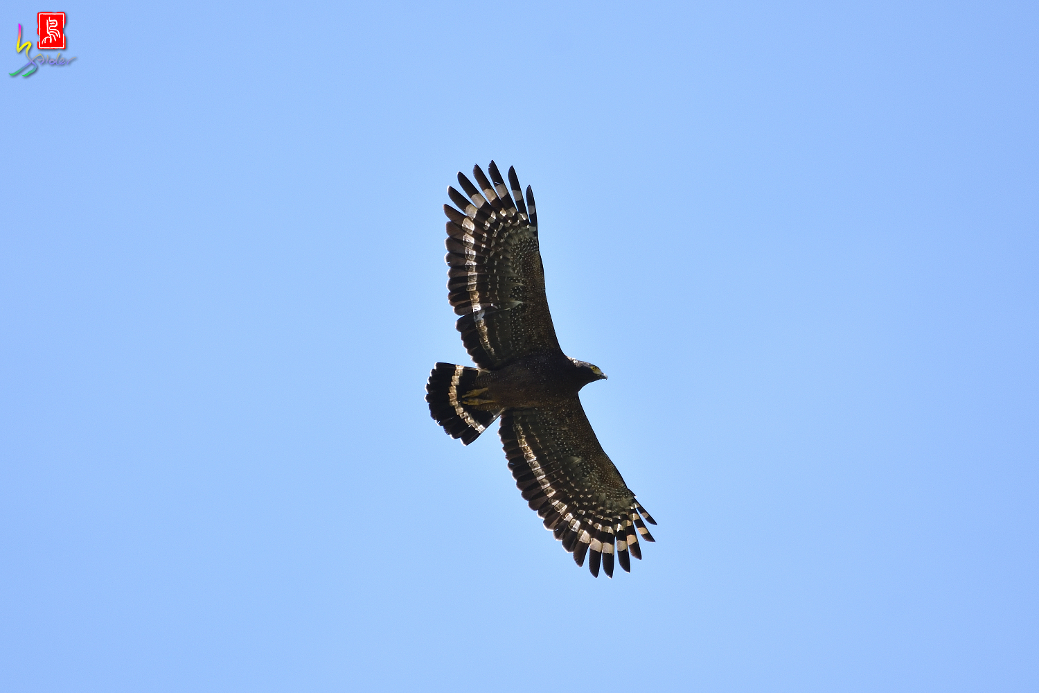 Crested_Serpent-eagle_1286