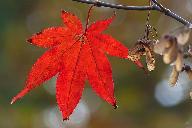 Red Acer leaf with seeds