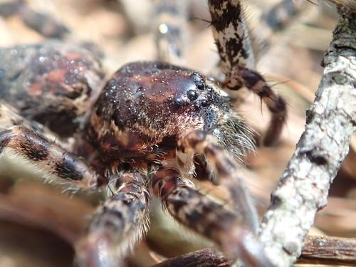f19woo03 acrossraystownbranchfromsaxton bedfordcountypennsylvania dolomedestenebrosus darkfishingspider spider arachnid