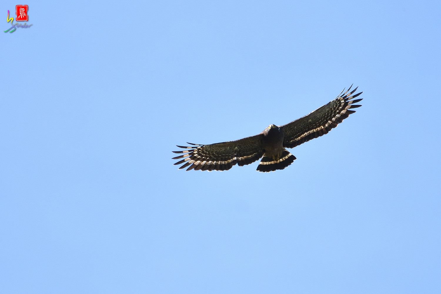 Crested_Serpent-eagle_1313