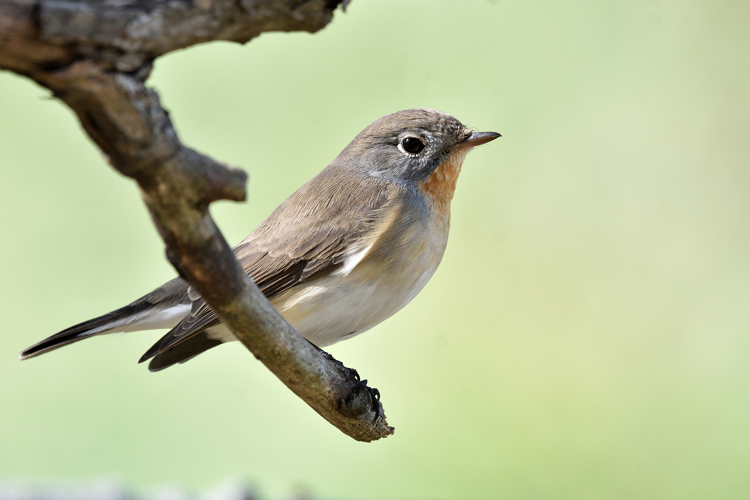 Red-breasted_Flycatcher_6521