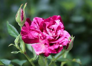 purple & white bicolor rose