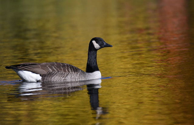 Bernache du Canada / Canada Goose