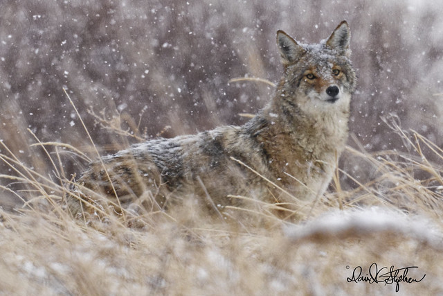 Coyote Glances My Way In Fluffy Snow