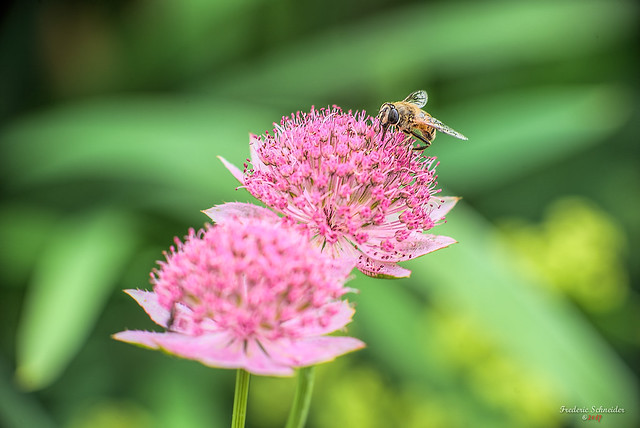 Two Pinks with a fly