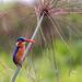 malachite kingfisher | lugogo swamp, uganda