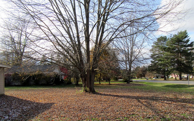 The Leafless Front Maple
