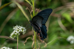 Great Mormon - Papilio memnon - Fenghuang, China