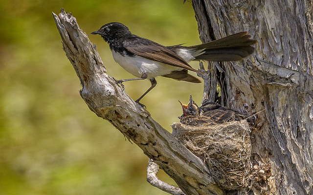 nesting willie wagtail