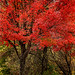 Autumn Red 3-0 F LR 10-29-19 J179