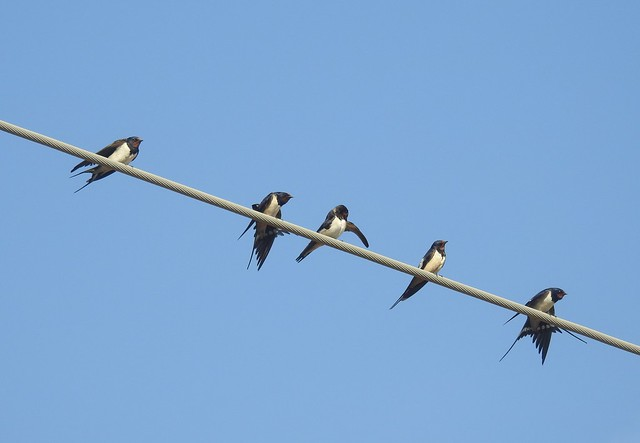 Quintet of Swallows On Single Power Line