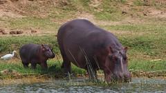 IMGP1009 Baby hippo