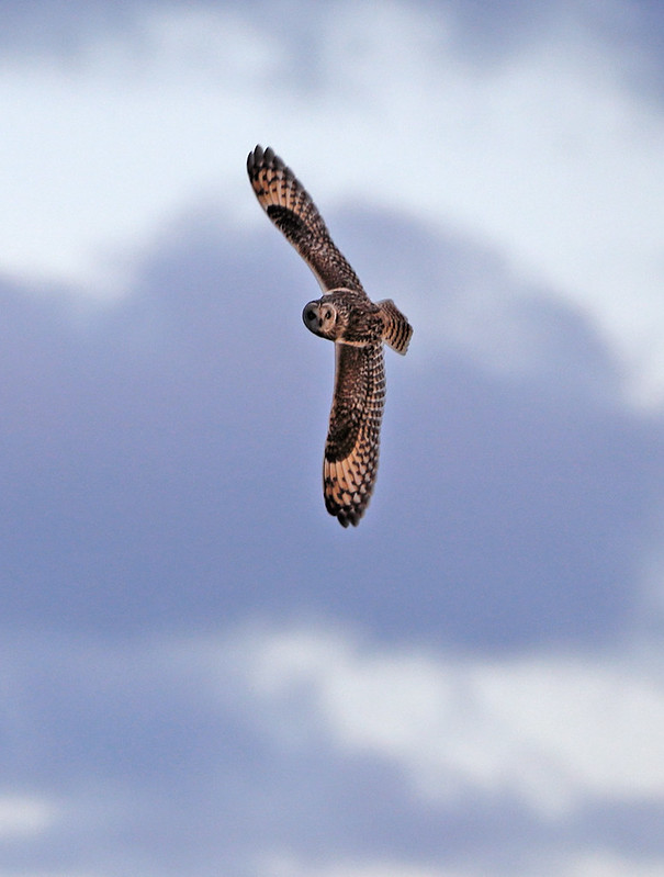 Shoert-eared Owl/s at dusk