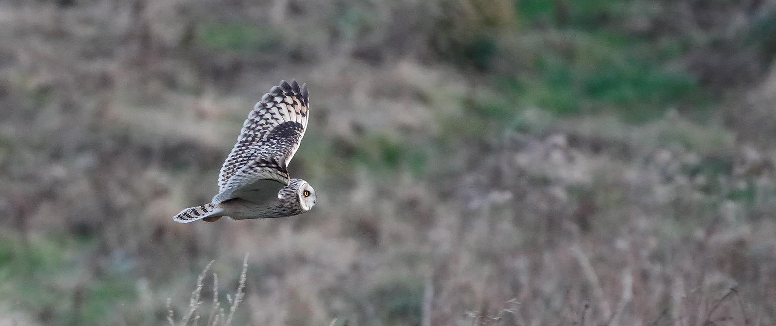 Shoert-eared Owl/s at dusk